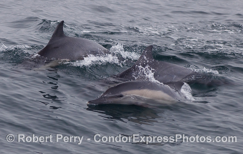 Common Dolphins (Delphinus capensis) leaping alongside the Condor Express.