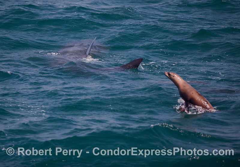 Image 1 of 3:  Three looks at a big Basking Shark (Cetorhinus maximus).  In this shot a pesky, California Sea Lion (Zalophus californians) can be seen pestering the shark