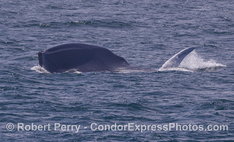 A giant Blue Whale lunge feeding...you are looking at the ventral grooves under the chin, and the left pectoral fin.