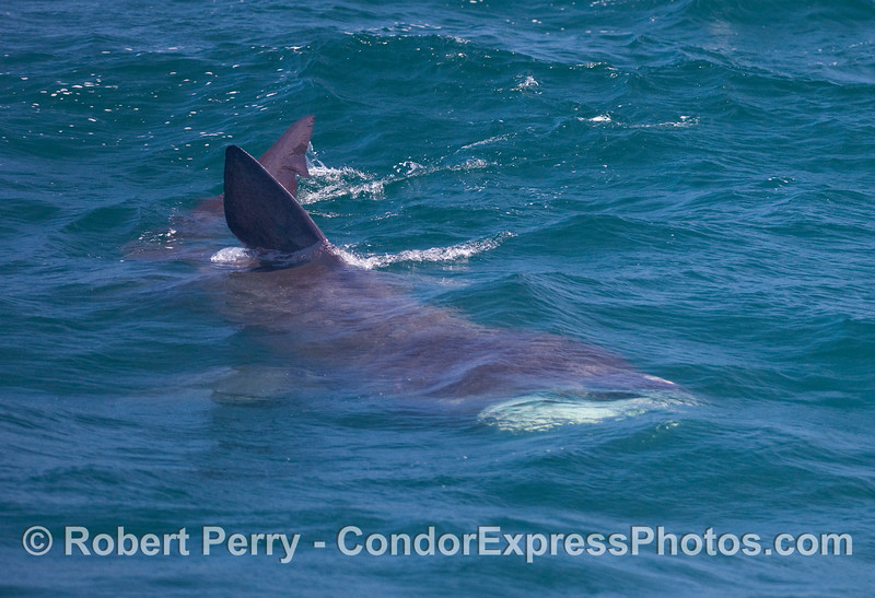 Image 3 of 3:  Three looks at a big Basking Shark (Cetorhinus maximus) mouth open.