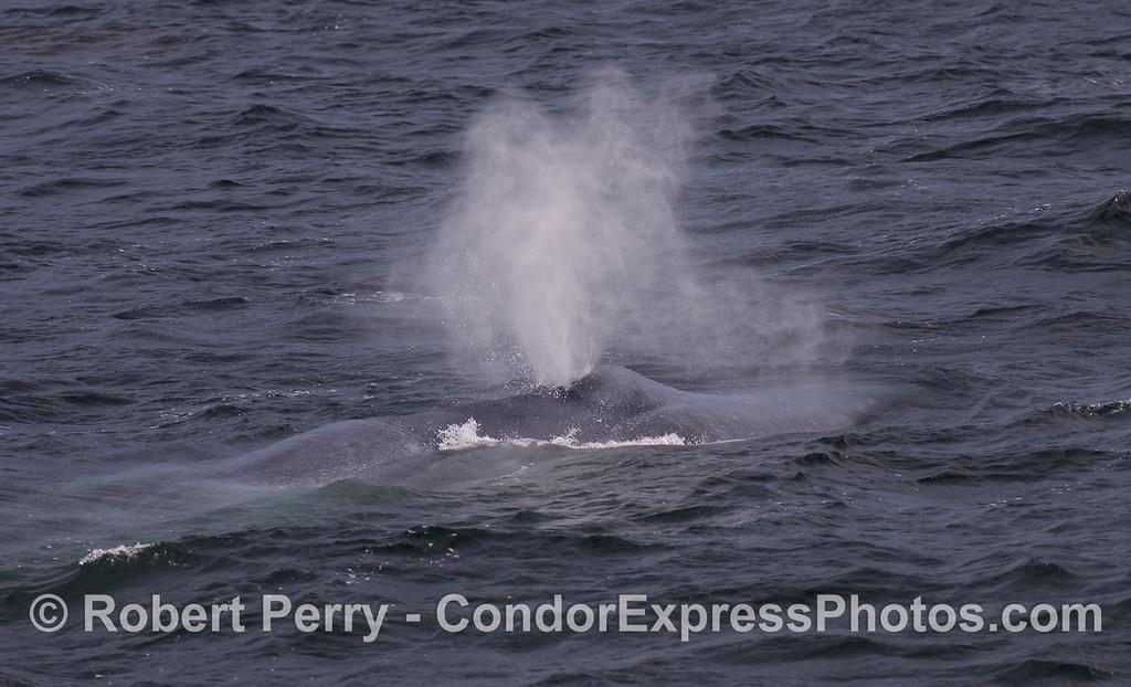 Blue Whale spouts.