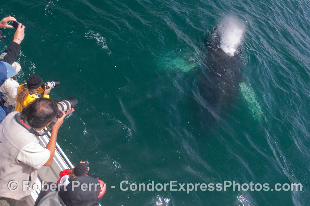 Whalers shoot a friendly Humpback Whale.