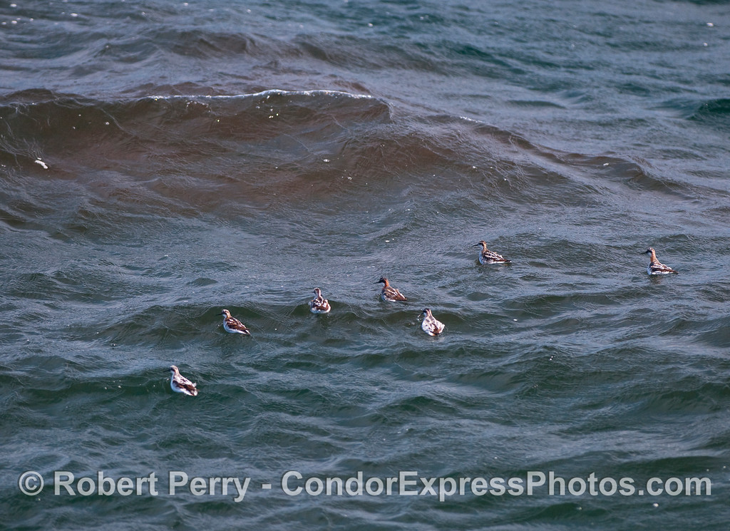 Red necked Phalaropes (Phalaropus lobatus) attack a mass of red Krill (Thysanoessa spinifera).