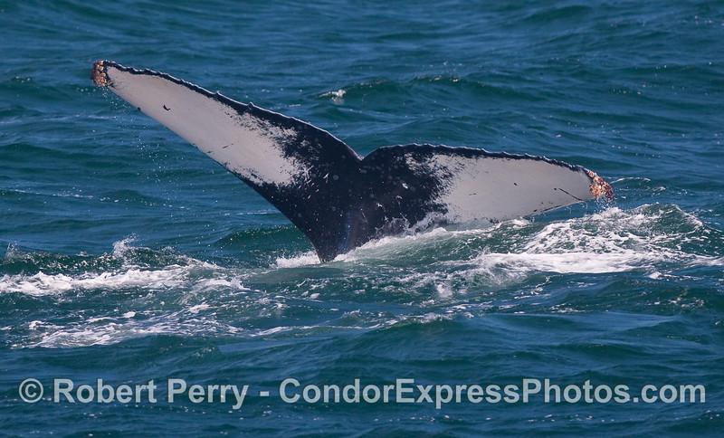 Humpback tail fluke.