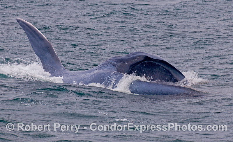 Lunge feeding Blue Whale...upside down.   Krill can be seen as little red dots all over the mouth.