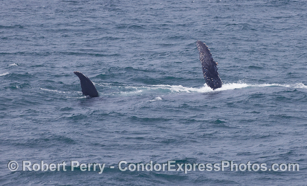 Humpback Whale on its left side with right tail fluke and right pectoral fin exposed.