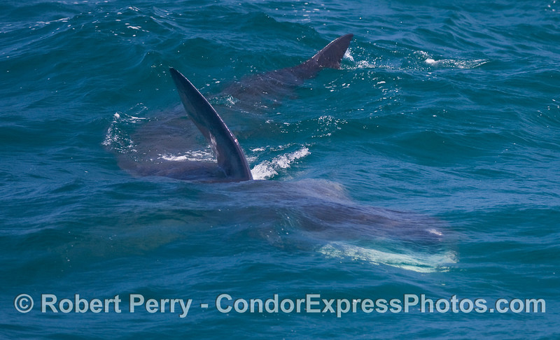 Image 2 of 3:  Three looks at a big Basking Shark (Cetorhinus maximus).  It is headed toward the lower left corner, mouth open.