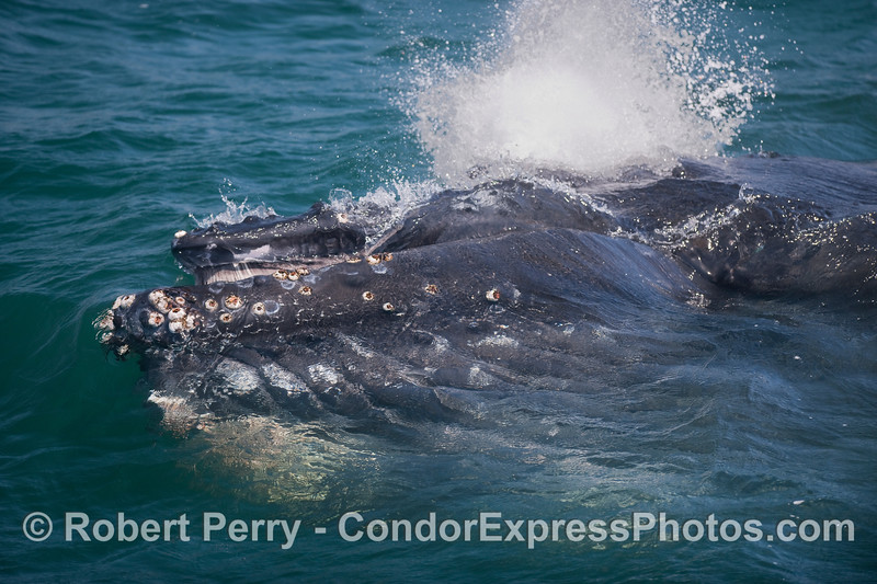 Nearing the end of a lunge feeding event, baleen visible in the mouth, a Humback spouts.