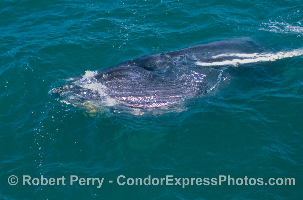 Image Sequence, 3 of 3:  A juvenile Humpback lunge feeds on its right side.  Mouth is now closed and the eyeball can be seen.