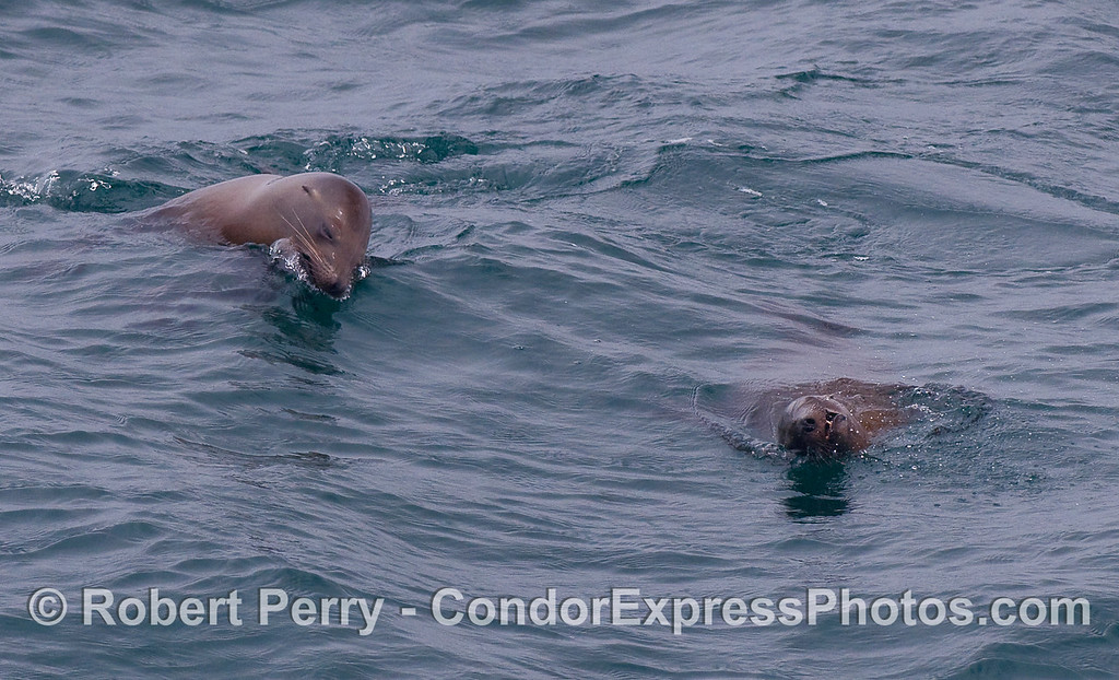Two juvenile California Sea LIons (Zalophus californianus) cavort.