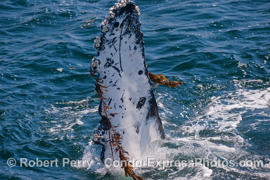 A pectoral fin of a Humpback with Giant Kelp attached.
