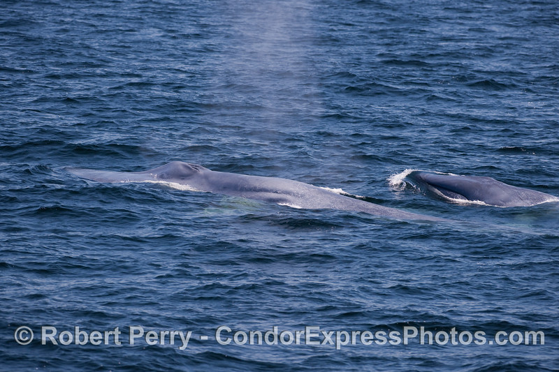 Two Blue Whales, a mother and her calf, migrating to the west.