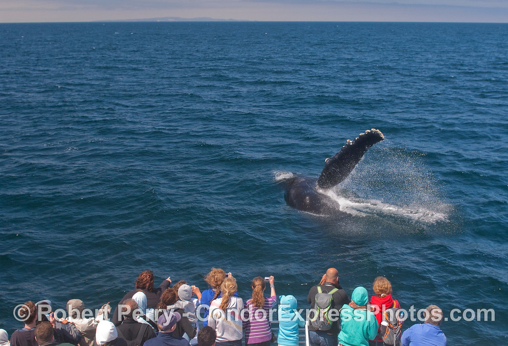 A friendly Humpback puts on a show.