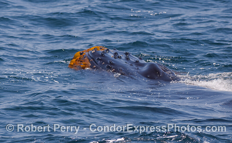 Giant Kelp attached to the head of a Humpback.