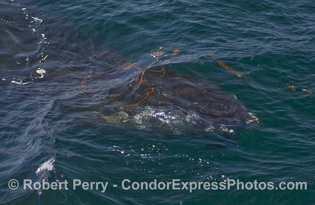 Giant Kelp is seen floating above a submerged Humpback Whale.