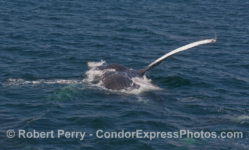 Another photo of an upside down Humpback...notice the ventral grooves that run from the mouth back to the navel.