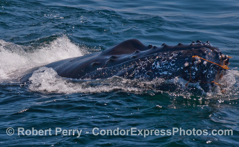 Humpbacks love to play with Giant Kelp (Macrocystis pyrifera) drifting free on the open ocean.