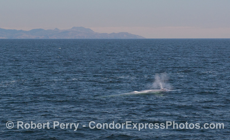 A spouting Blue Whale with the west end of Santa Rosa Island in the background.