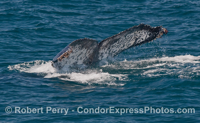 Tail flukes of a Humpback Whale...going down.