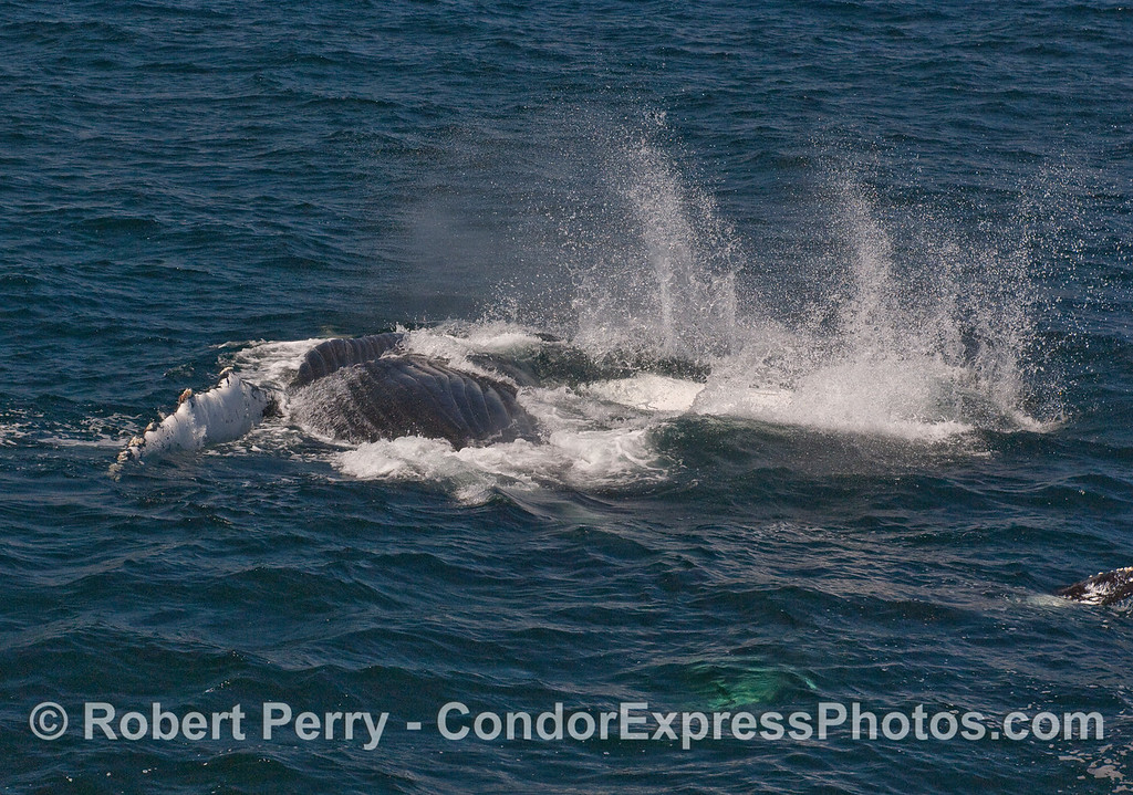 A completely upside down Humpback Whale, slaps its long pectoral fin on the water.
