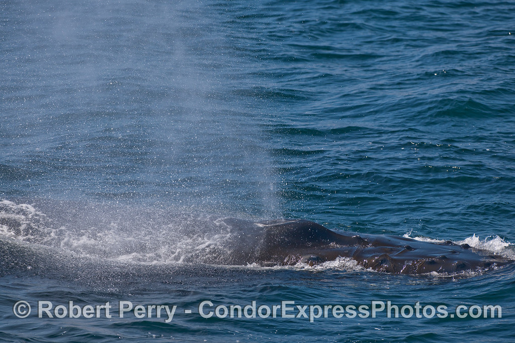 A spouting Humpback seen very close up.