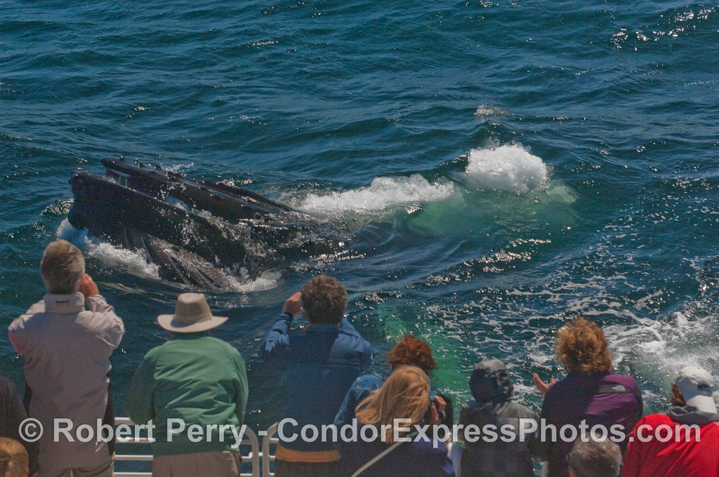 A juvenile Humpback lunge-feeds on krill very close to the Condor Express whalers.