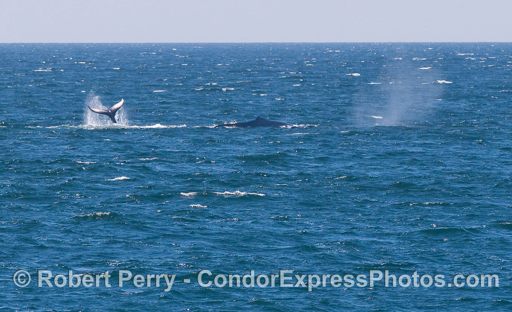 A tail, a dorsal hump and a spout:  three views of Humpback Whales at the same time.