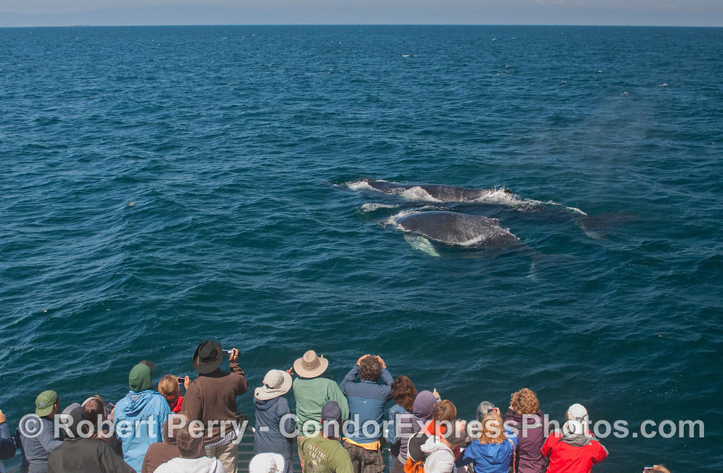 A mother Humpback brings her calf over to have a look at the whalers on board the Condor Express.