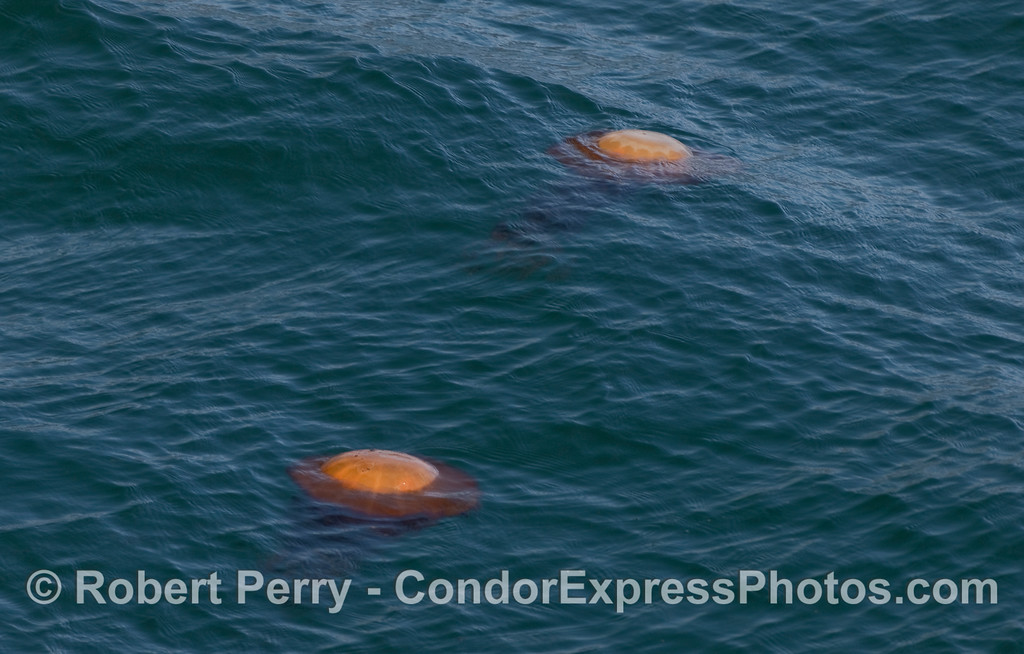 Two West Coast Sea Nettles (Chrysaora fuscescens) drifing on the surface.