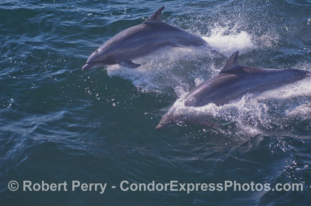 Offshore Bottlenosed Dolphins (Tursiops truncatus).