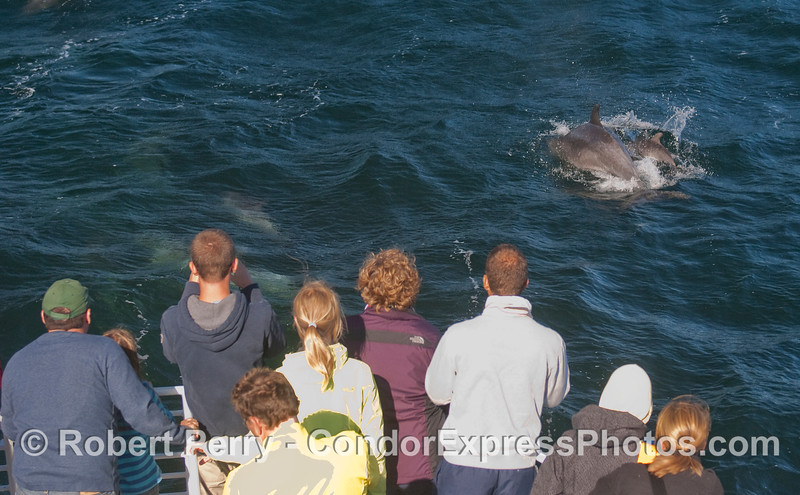 Whalers watch a mother and her calf, offshore Bottlenosed Dolphins (Tursiops truncatus).