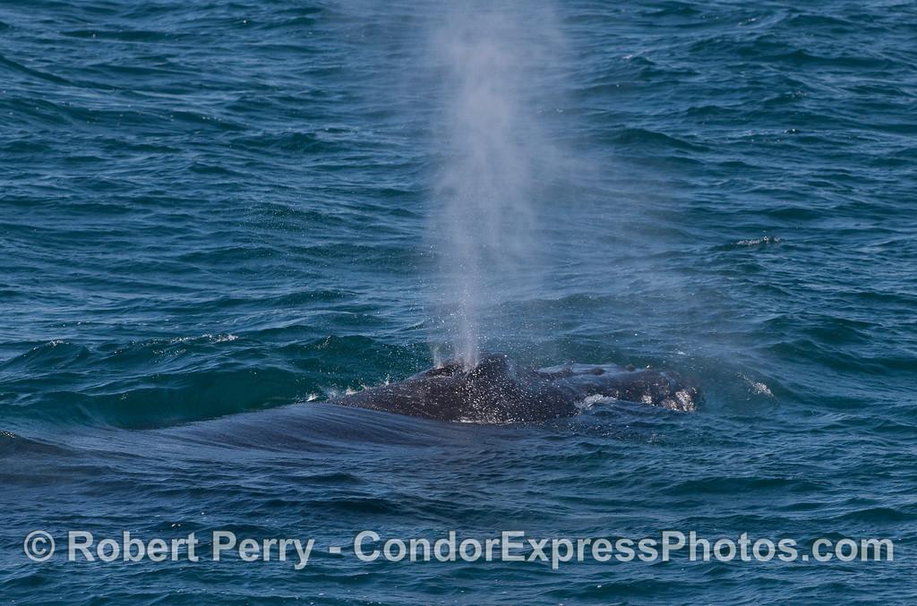 A Humpback Whale spout.