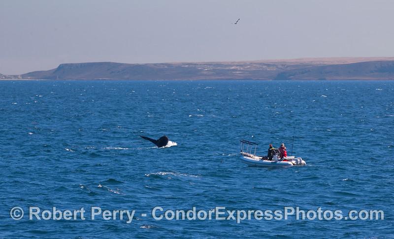 John Calambokidis, Humpback Whale and Santa Rosa Island.