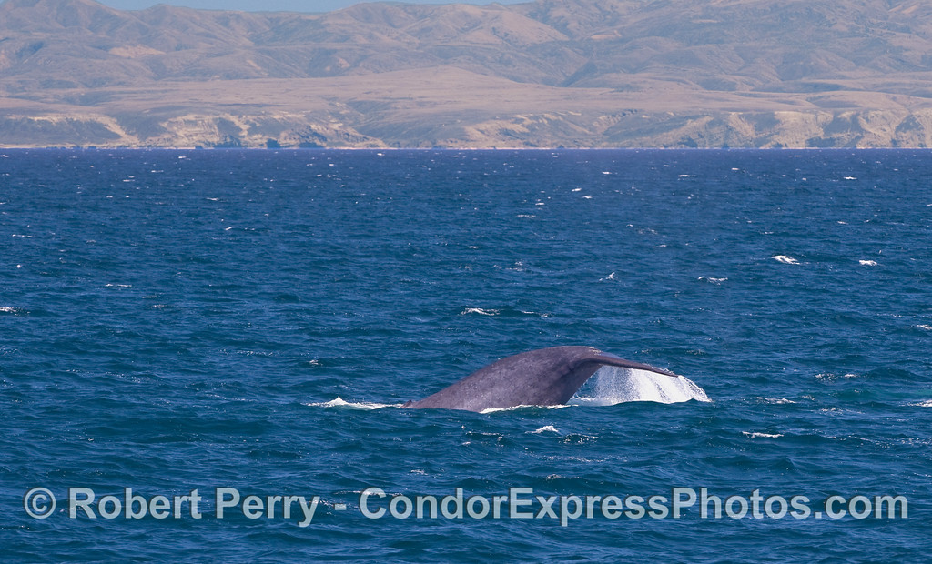 Blue Whale tail flukes waterfall with Santa Rosa Island in back.