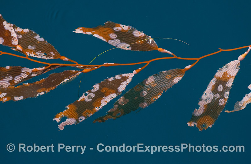 Drifting, detached, Giant Kelp (Macrocystis pyrifera) featuring the bryozoans (Membranipora membranacea) living on the fronds.