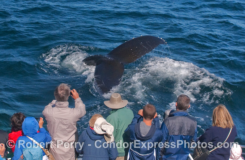 An extreme view of Humpback tail flukes.