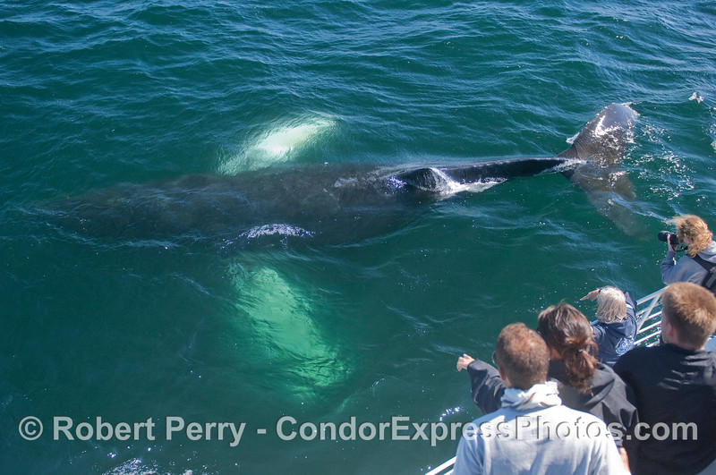 The whole body of this Humback Whale can be seen under the green-blue water.