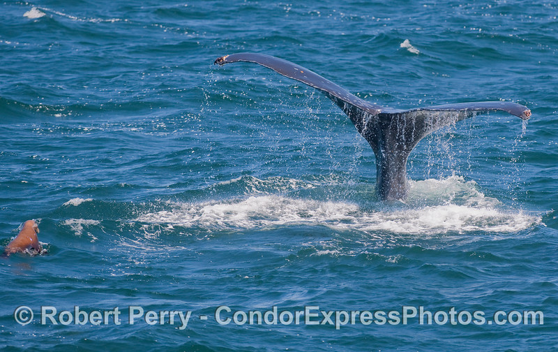 A Humpback Whale kicks up its tail flukes for a deep dive, as a California Sea Lion (Zalophus californianus) looks on.