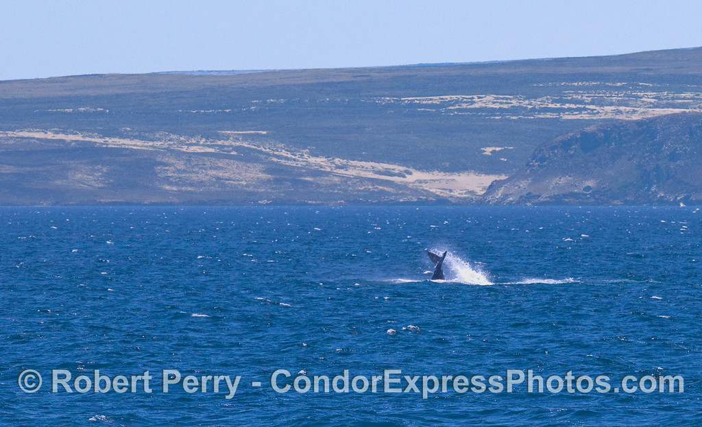 A Humpback slaps its tail around with San Miguel Island in the background.