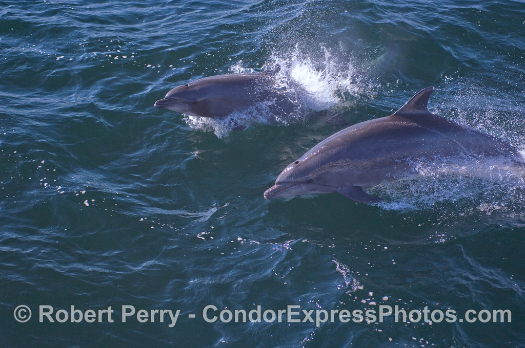 "Two Bottlenosed Dolphins (Tursiops truncatus) of the ""offshore"" variety."