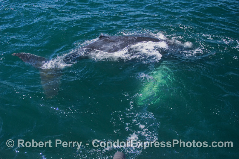 A Humpback arches and prepares to dive...a lone camera lens appears along the bottom edge.