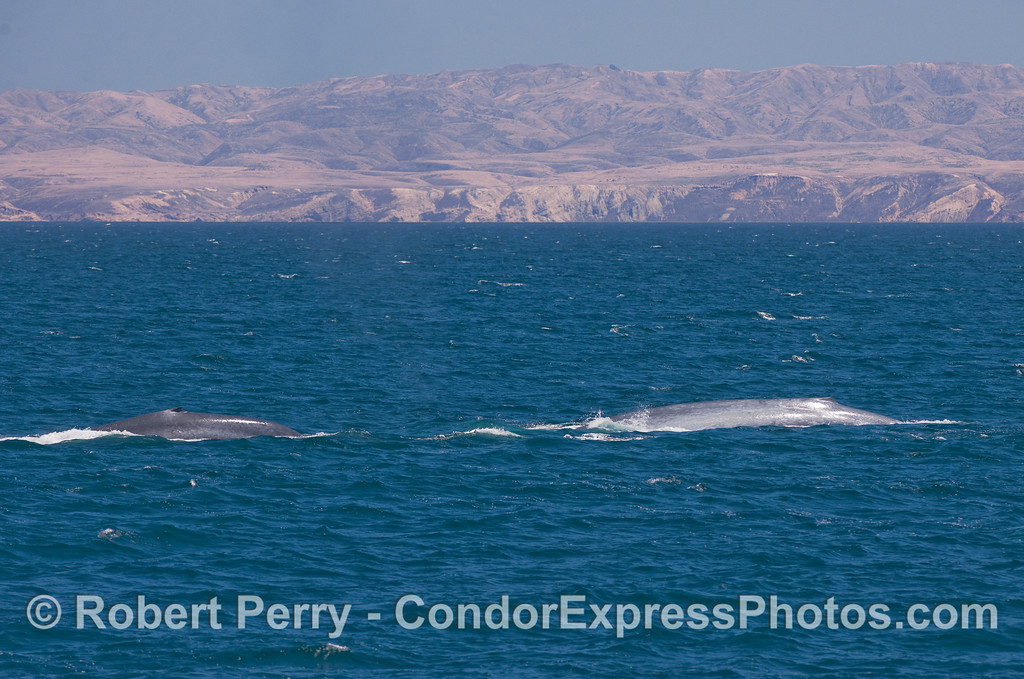 Two Blue Whales racing across the north side of San Miguel Island.