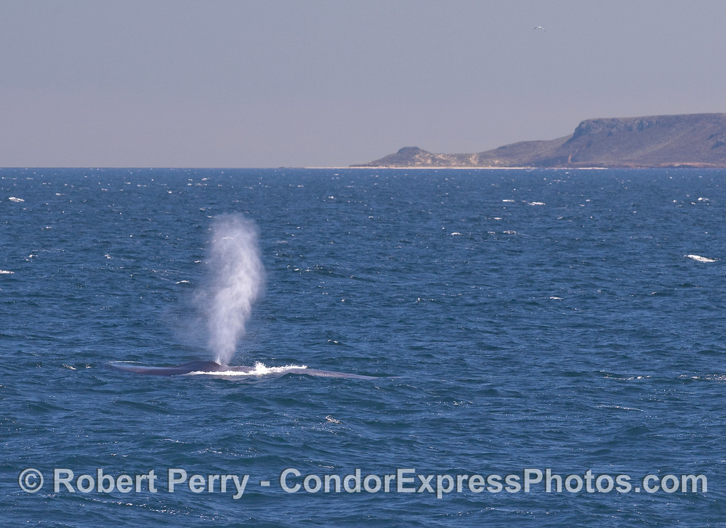 Blue Whale spouting with San Miguel Island in back.
