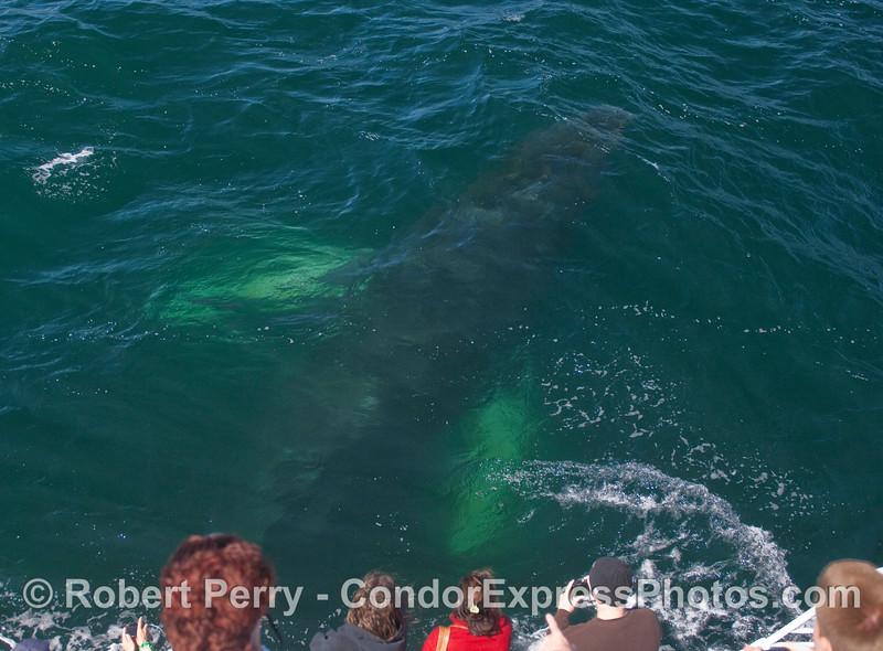 Whale ho! Ho ho ho!  A Humpback passes beneath the whalers.