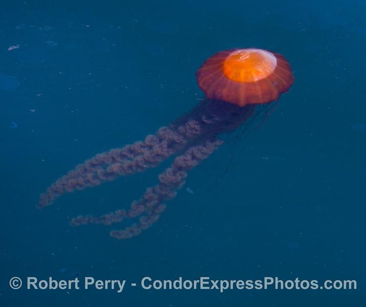 A West Coast Sea Nettle (Chrysaora fuscescens)