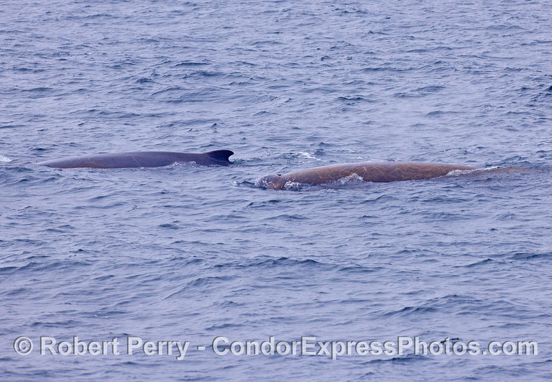 Baird's Beaked Whales (Berardius bairdii).