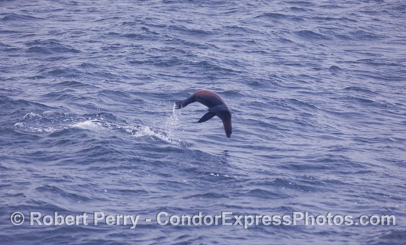 Whoa!  A leaping California Sea Lion.