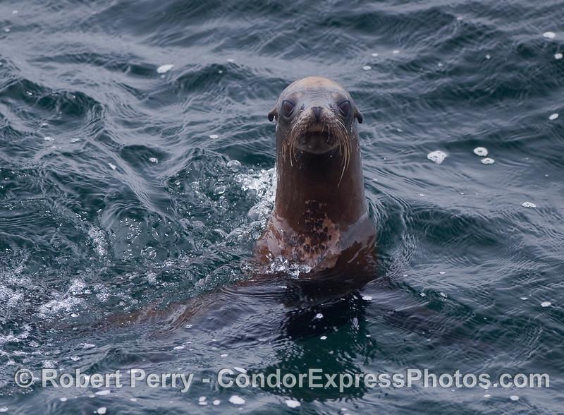 An inquisitive California Sea Lion.