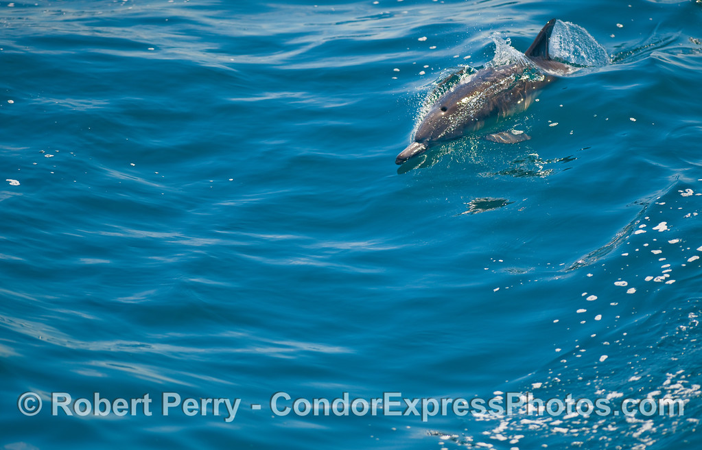 A Common Dolphin takes off on a small, bright blue wave.