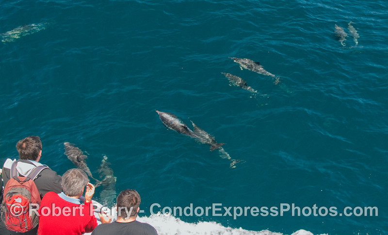 Lots of Common Dolphins visit the whalers on board the Condor Express.